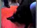 Namoro canino